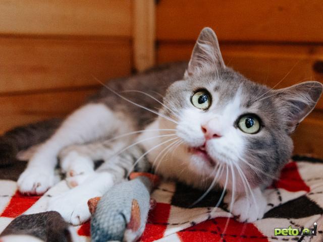 Отдам в дар: Кот Степан ищет дом фото4