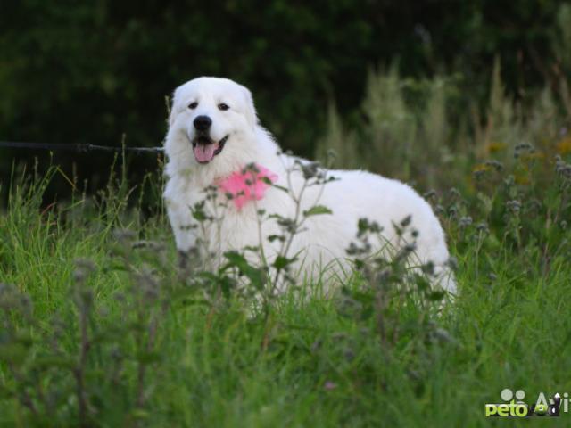 Вязка: Мареммо-абруцкя овчаркаКобель для вязки