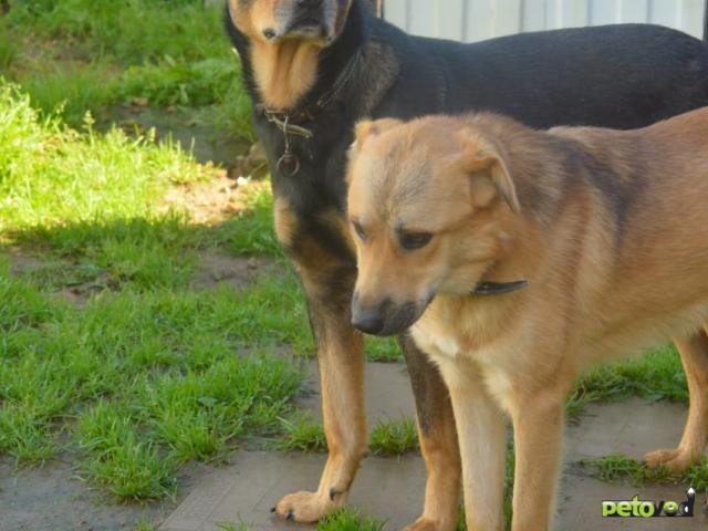 Отдам в дар: Добрейший пёс ищет дом фото2